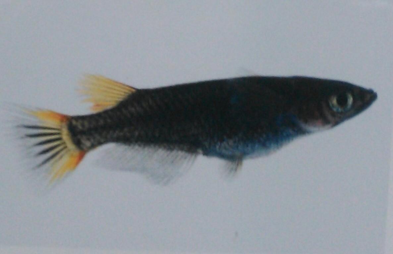 画像1: 黒蜂両頬透明鱗 1ペア