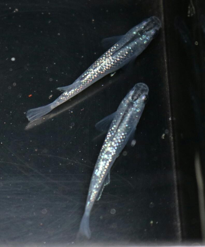 画像1: 黒ラメ 7色レインボー 1ペア
