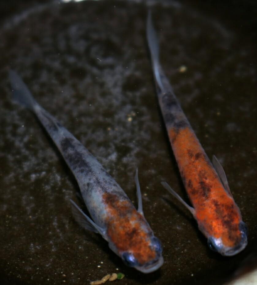画像3: 雲州三色有精卵20個