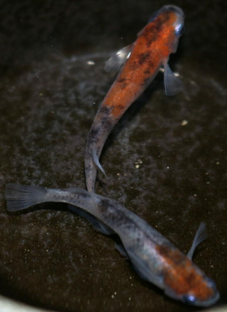 画像2: 雲州三色有精卵20個
