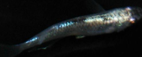 画像4: 黒カブキ 1ペア